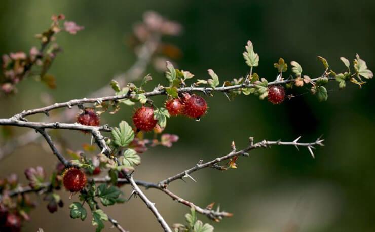 Prunus Americana Extract