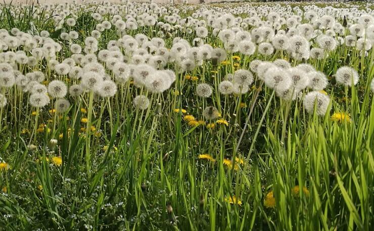 dandelion-herb-extract